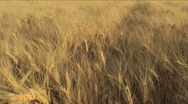 Wheat Field Pan Stock Footage