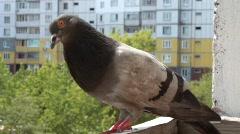 Pigeon Stock Footage