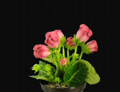 Time-lapse of red gloxinia flower opening 1a (Cinema 2K) - stock footage