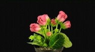 Stock Video Footage of Time-lapse of red gloxinia flower opening 1 with alpha matte (720p)