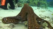 Stock Video Footage of Reef octopus (octopus cyaneus)