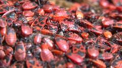 A pile of Pyrrhocoris apterus (firebug) close up Stock Footage