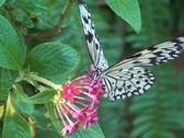 Paper Kite Butterfly Close Up NTSC Stock Footage