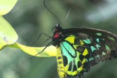 Butterfly Birdwing NTSC Stock Footage