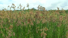 Malawi: grass field in dry season Stock Footage