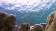 Stock Video Footage of Ocean surface and anthias - Lockdown shot
