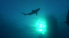 Below view of a Silky Shark Stock Footage