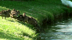 Ducklings enter water close up - stock footage
