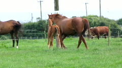 Mare and Foals 1 Stock Footage