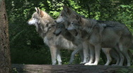 Stock Video Footage of Four Gray Wolves