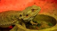 Agama (Dragon lizard) Stock Footage