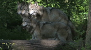 Stock Video Footage of Four Gray Wolves 2