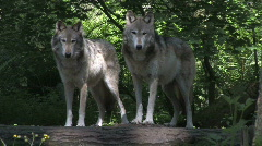 Two Gray Wolves on Log 1 Stock Footage