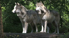 Three Gray Wolves on Log 3 Stock Footage