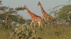 Two giraffes graze on the African plains. Stock Footage
