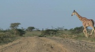 Stock Video Footage of Two African giraffes cross the road.