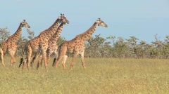 Giraffes walk through golden grasslands in Africa. Stock Footage
