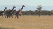 Stock Video Footage of Giraffes walk across the plains of Africa.