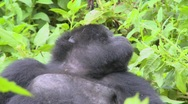 Stock Video Footage of A mountain gorilla sits in the jungle greenery on a volcano in Rwanda.