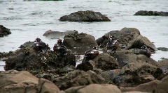 Harlequin ducks Stock Footage