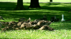 Mother duck watches guard as her ducklings eat Stock Footage