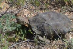 Wild Desert Tortoise NTSC Stock Footage