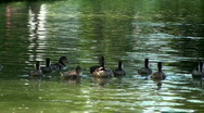 Mother duck and ducklings swim on pond Stock Footage