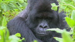 A slow zoom into a mountain gorilla in the greenery of the Rwandan rainforest. Stock Footage