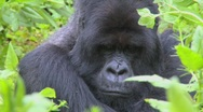 Stock Video Footage of A slow zoom into a mountain gorilla in the greenery of the Rwandan rainforest.