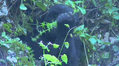 A gorilla youngster sits in the mist eating vegetation on the slopes of a Stock Footage