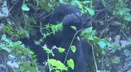 Stock Video Footage of A gorilla youngster sits in the mist eating vegetation on the slopes of a