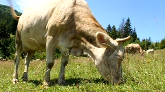 White cow Stock Footage