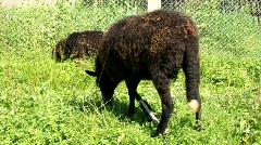 Black sheep Stock Footage