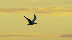Caspian Tern Sunset Slow Motion - Seabird in Flight, Gull, Sea Bird - stock footage