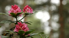Blooming pink rhododendron (Ericaceae family) plant 2 (720p) - stock footage