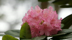 Blooming pink rhododendron (Ericaceae family) plant 3 - stock footage
