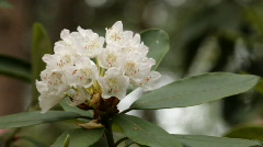 Blooming white rhododendron (Ericaceae family) plant 1 (720p) - stock footage