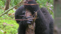 Stock Video Footage of Mountain gorillas get high after eating the sap off eucalyptus trees in Rwanda.