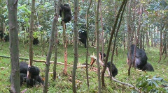 Mountain gorillas in a eucalyptus grove in Rwanda. Stock Footage
