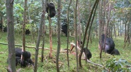 Stock Video Footage of Mountain gorillas in a eucalyptus grove in Rwanda.