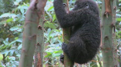 Stock Video Footage of A baby mountain gorilla climbs in a tree in Rwanda.
