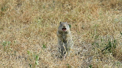 Prairie dogs standing P HD 0832 - stock footage