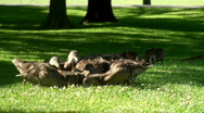 Mother duck and ducklings eating- Stock Footage