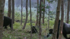 A male silverback gorilla walks with babies through the jungles of Rwanda. - stock footage