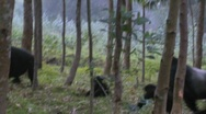 A male silverback gorilla walks with babies through the jungles of Rwanda. Stock Footage