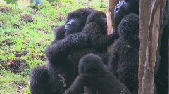 A family of mountain gorillas in Rwanda. Stock Footage