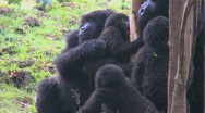 A family of mountain gorillas in Rwanda. Stock Footage