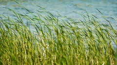 Sedge and wind1 - stock footage