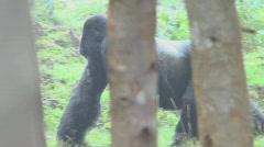 A male silverback gorilla walks through the jungle in Rwanda. Stock Footage