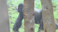 Stock Video Footage of A male silverback gorilla walks through the jungle in Rwanda.